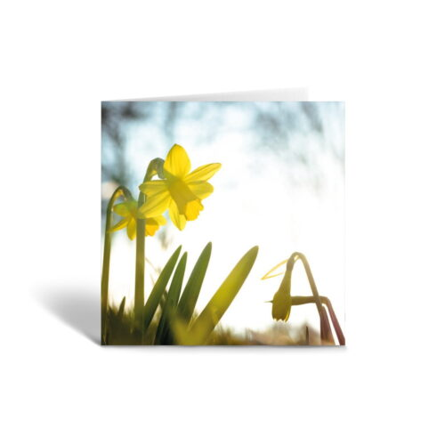 Orange Fig First Daffodils Greetings Card Front