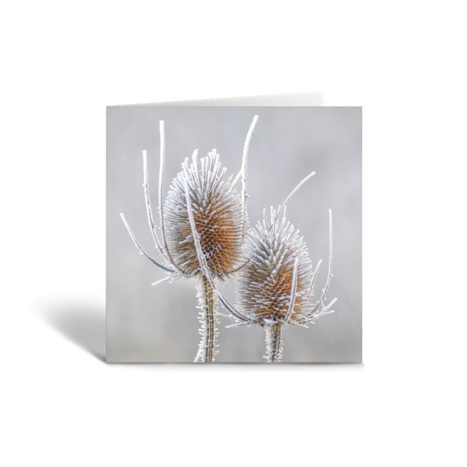 Orange Fig Frosty Teasel Greetings Card Front